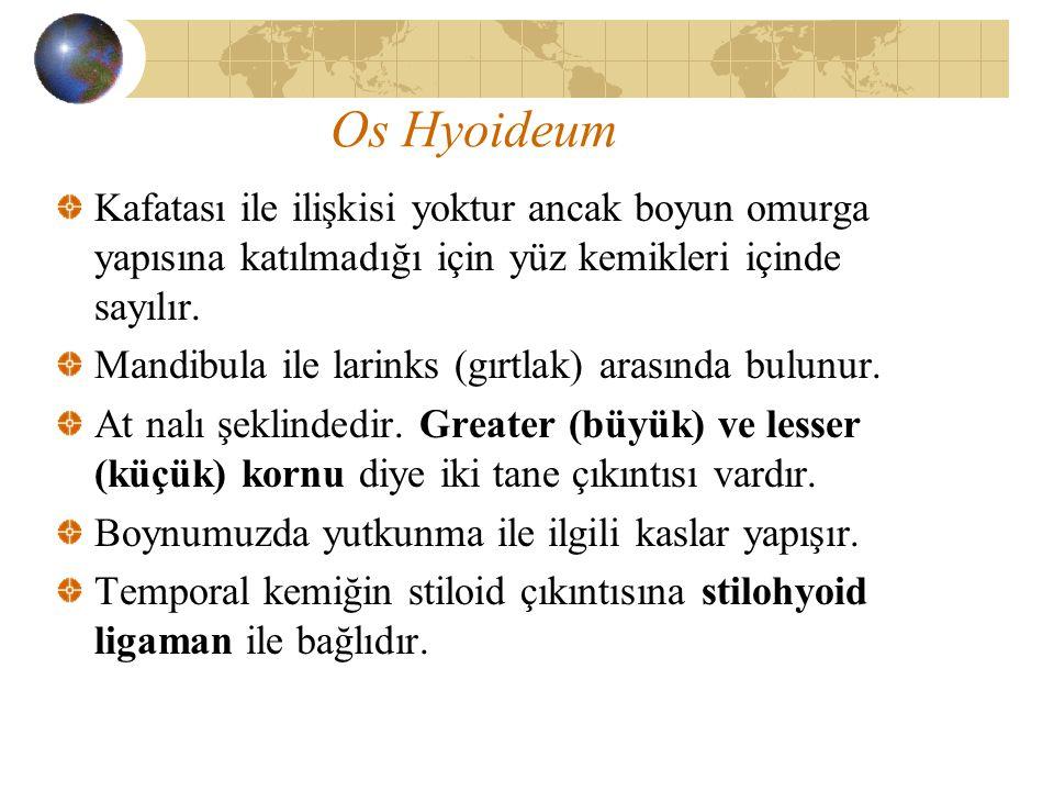 Os Hyoideum Kafatası ile ilişkisi yoktur ancak boyun omurga yapısına katılmadığı için yüz kemikleri içinde sayılır.
