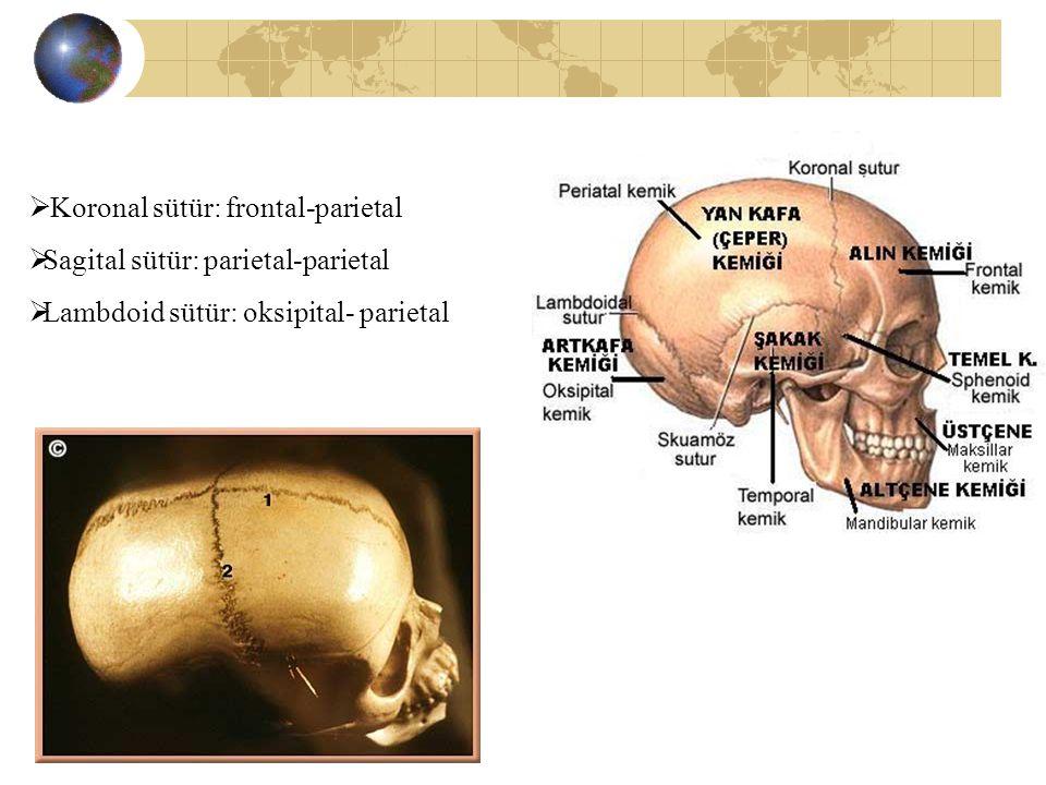 Koronal sütür: frontal-parietal