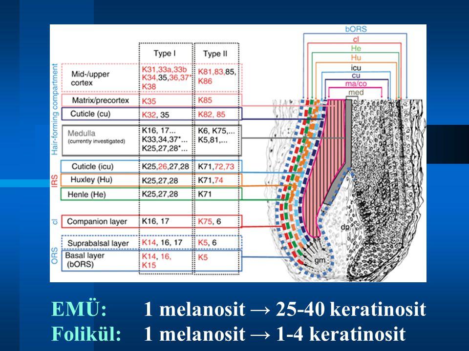 EMÜ:. 1 melanosit → 25-40 keratinosit Folikül: