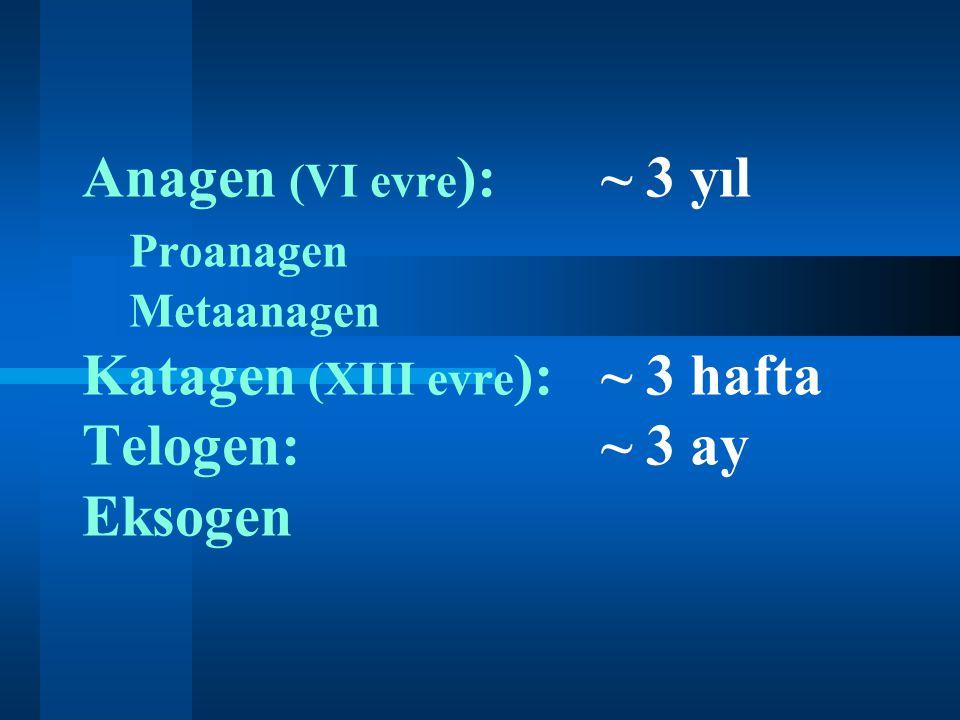 Anagen (VI evre):. ~ 3 yıl. Proanagen. Metaanagen Katagen (XIII evre):