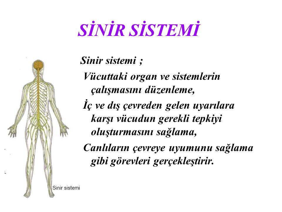 SİNİR SİSTEMİ Sinir sistemi ;