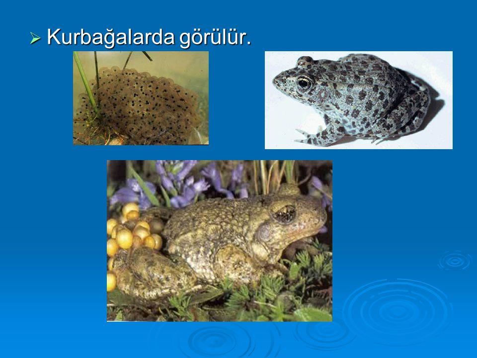 Kurbağalarda görülür.