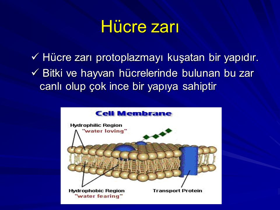 Hücre zarı Hücre zarı protoplazmayı kuşatan bir yapıdır.