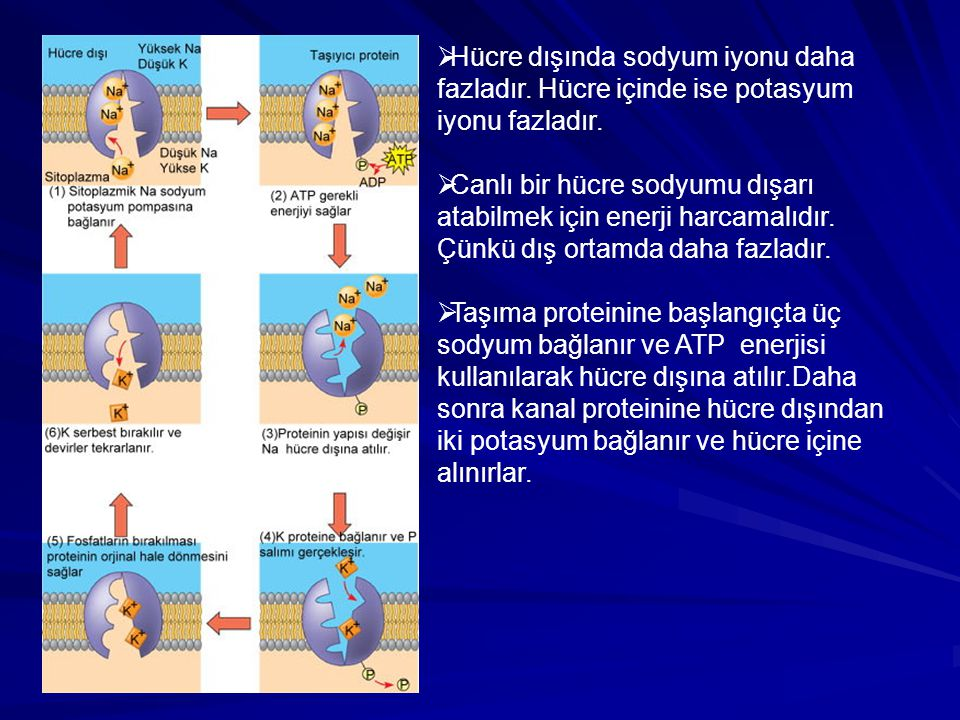 Hücre dışında sodyum iyonu daha fazladır