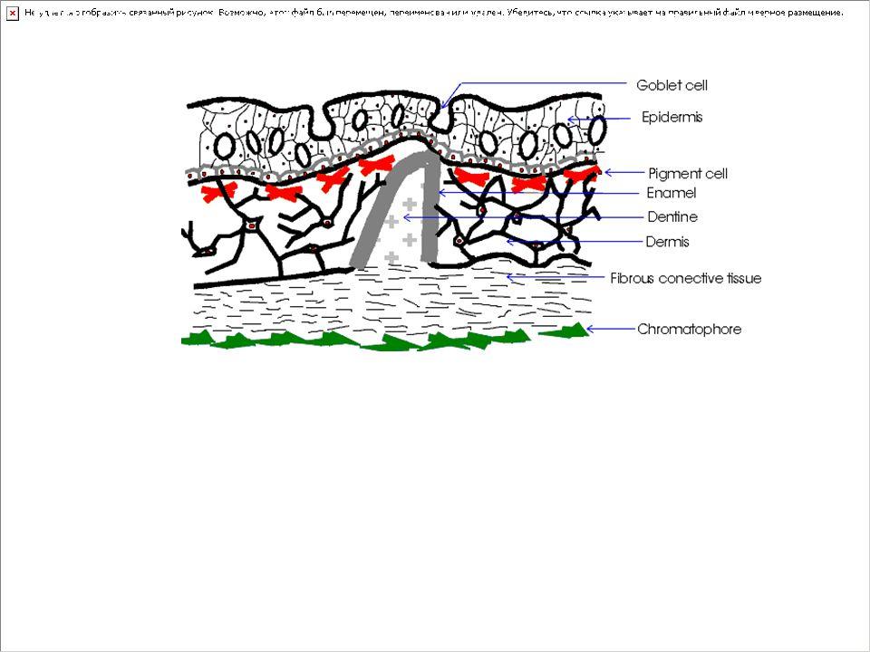 DERİ: Gövdeyi tümüyle örter. Yapısı kemikli balıkların hepsinde aynıdır. Görevi gövdeyi dış etkilere karşı korumaktır. Derinin mikroskopik yapısı esas olarak iki tabakadan oluşur