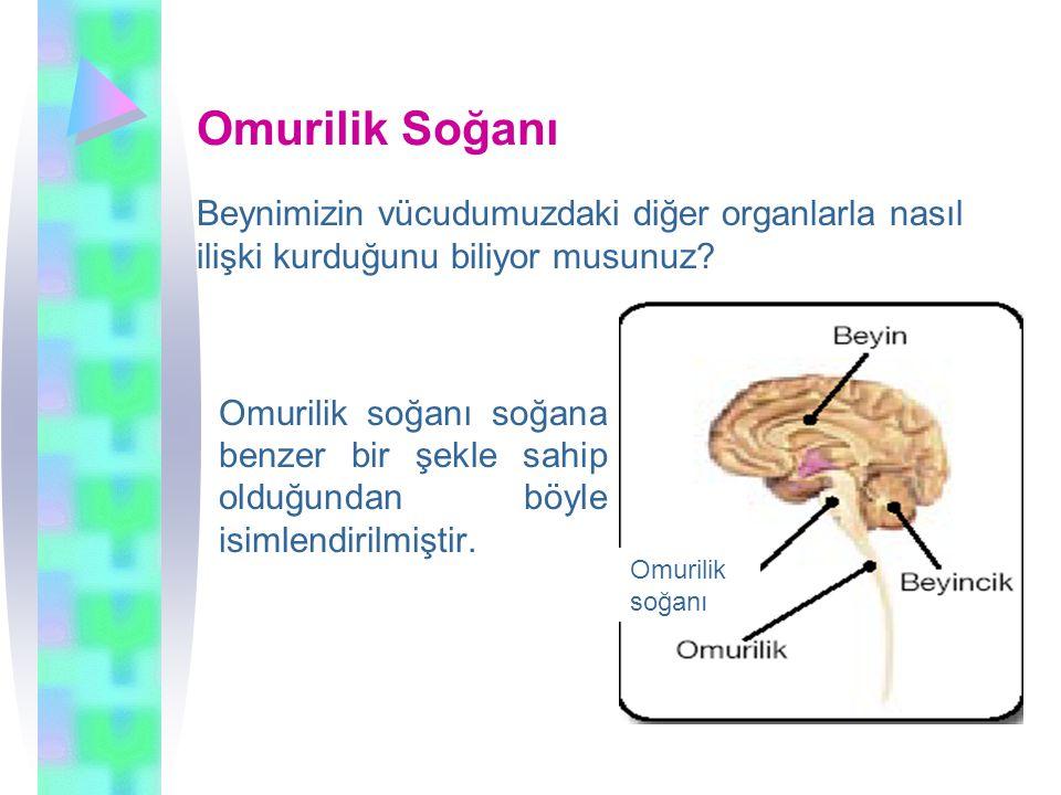 Omurilik Soğanı Beynimizin vücudumuzdaki diğer organlarla nasıl ilişki kurduğunu biliyor musunuz