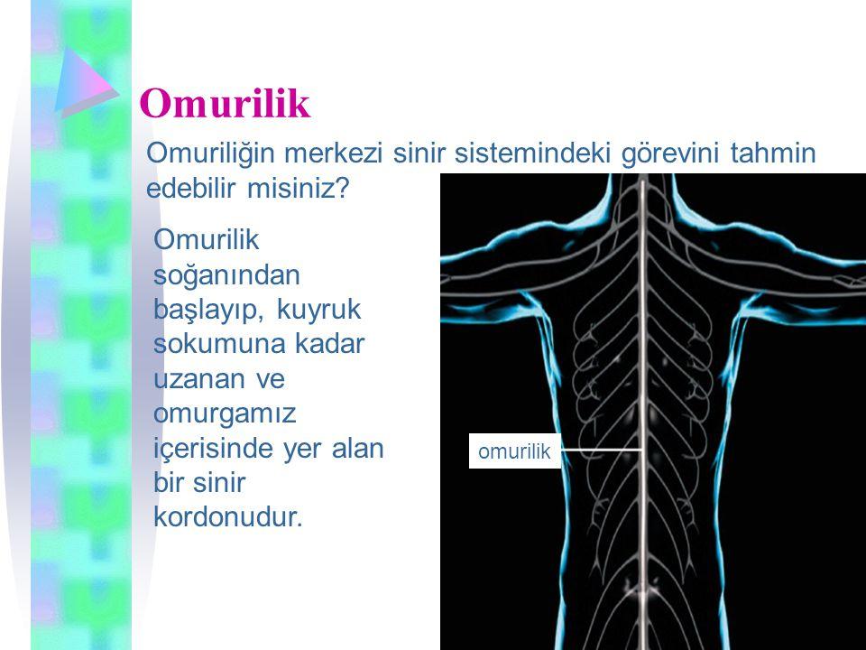 Omurilik Omuriliğin merkezi sinir sistemindeki görevini tahmin edebilir misiniz