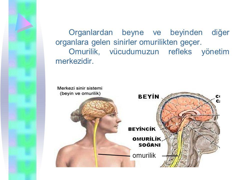 Omurilik, vücudumuzun refleks yönetim merkezidir.