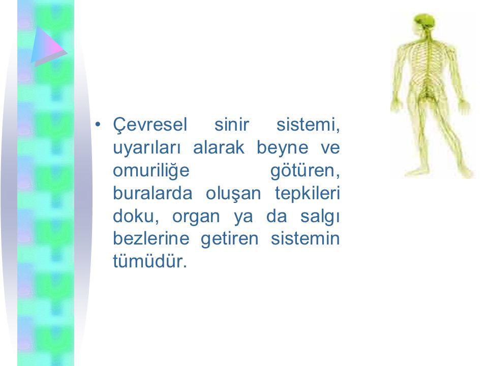 Çevresel sinir sistemi, uyarıları alarak beyne ve omuriliğe götüren, buralarda oluşan tepkileri doku, organ ya da salgı bezlerine getiren sistemin tümüdür.