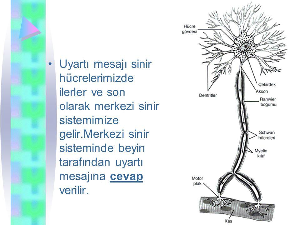 Uyartı mesajı sinir hücrelerimizde ilerler ve son olarak merkezi sinir sistemimize gelir.Merkezi sinir sisteminde beyin tarafından uyartı mesajına cevap verilir.