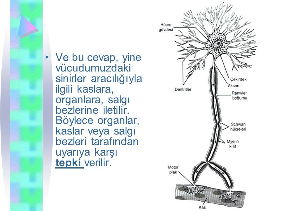 Ve bu cevap, yine vücudumuzdaki sinirler aracılığıyla ilgili kaslara, organlara, salgı bezlerine iletilir.