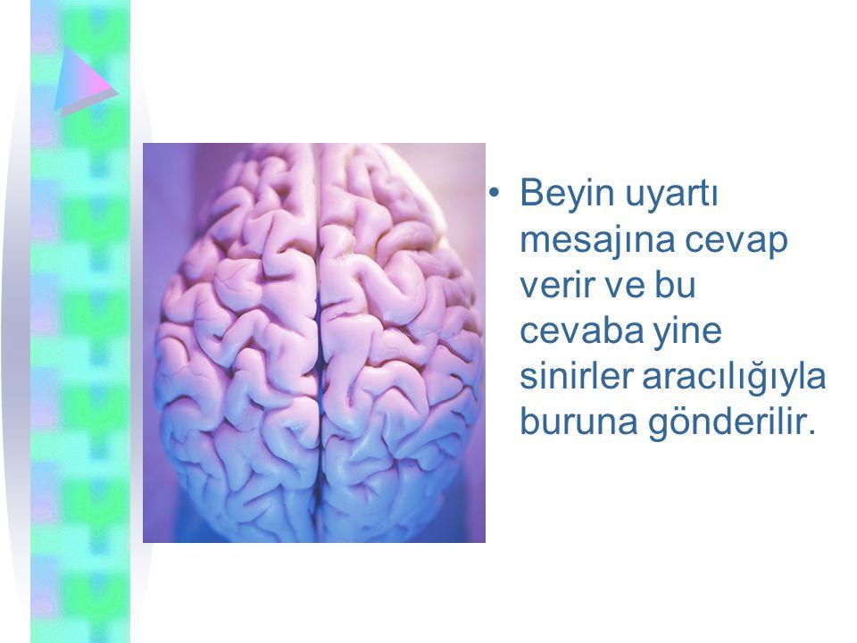 Beyin uyartı mesajına cevap verir ve bu cevaba yine sinirler aracılığıyla buruna gönderilir.
