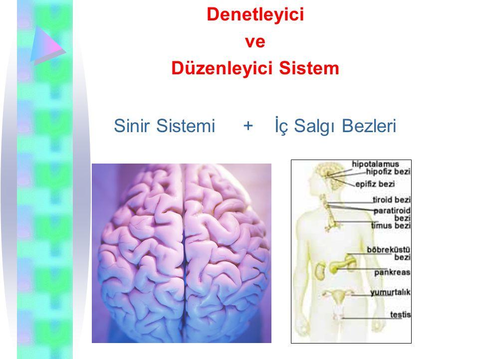 Denetleyici ve Düzenleyici Sistem Sinir Sistemi + İç Salgı Bezleri