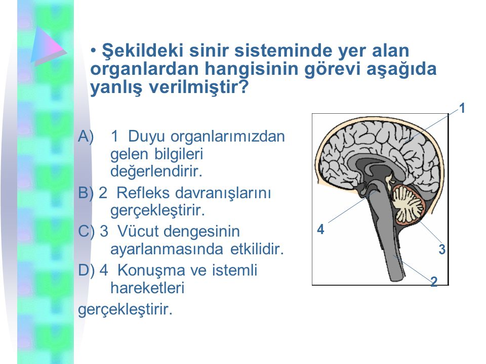 Şekildeki sinir sisteminde yer alan organlardan hangisinin görevi aşağıda yanlış verilmiştir