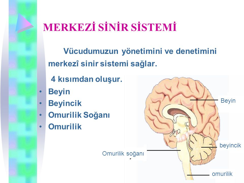 MERKEZİ SİNİR SİSTEMİ 4 kısımdan oluşur.