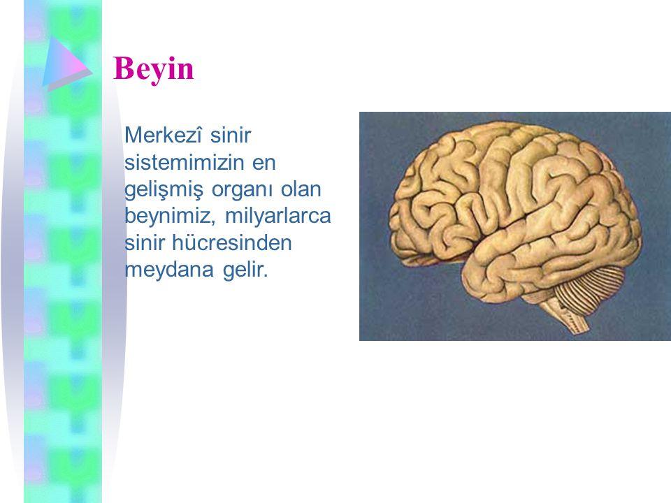Beyin Merkezî sinir sistemimizin en gelişmiş organı olan beynimiz, milyarlarca sinir hücresinden meydana gelir.
