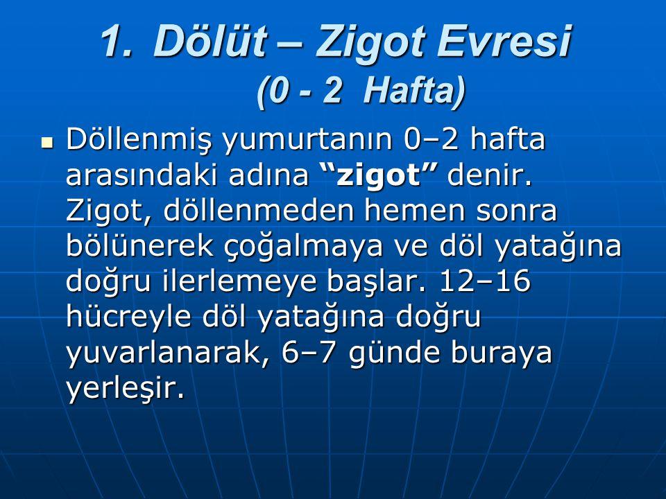 Dölüt – Zigot Evresi (0 - 2 Hafta)
