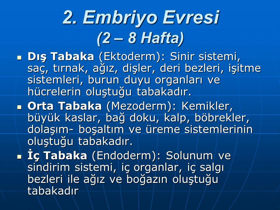 2. Embriyo Evresi (2 – 8 Hafta)