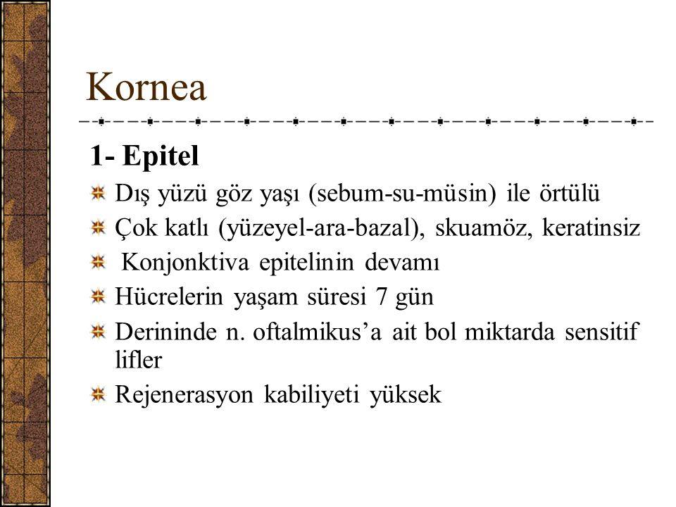 Kornea 1- Epitel Dış yüzü göz yaşı (sebum-su-müsin) ile örtülü