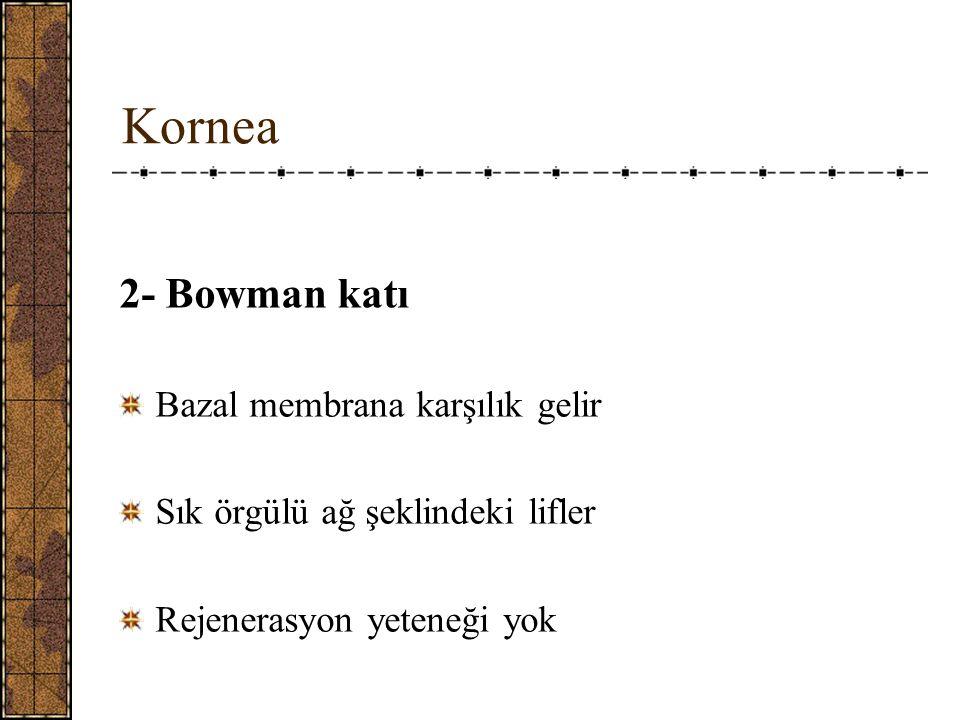 Kornea 2- Bowman katı Bazal membrana karşılık gelir