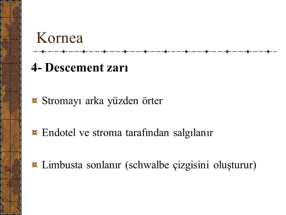 Kornea 4- Descement zarı Stromayı arka yüzden örter