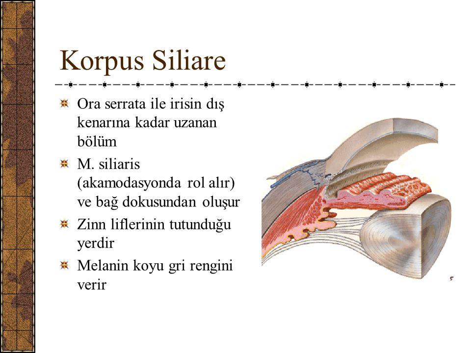 Korpus Siliare Ora serrata ile irisin dış kenarına kadar uzanan bölüm