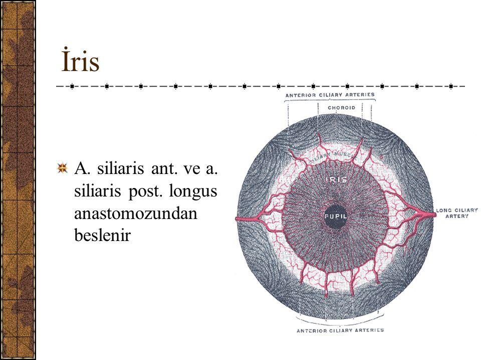 İris A. siliaris ant. ve a. siliaris post. longus anastomozundan beslenir