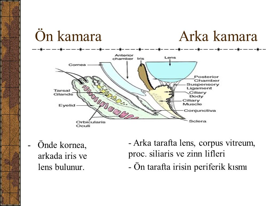 Ön kamara Arka kamara - Arka tarafta lens, corpus vitreum, proc. siliaris ve zinn lifleri.