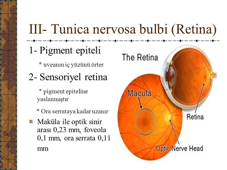 III- Tunica nervosa bulbi (Retina)