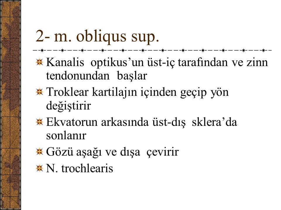 2- m. obliqus sup. Kanalis optikus'un üst-iç tarafından ve zinn tendonundan başlar. Troklear kartilajın içinden geçip yön değiştirir.