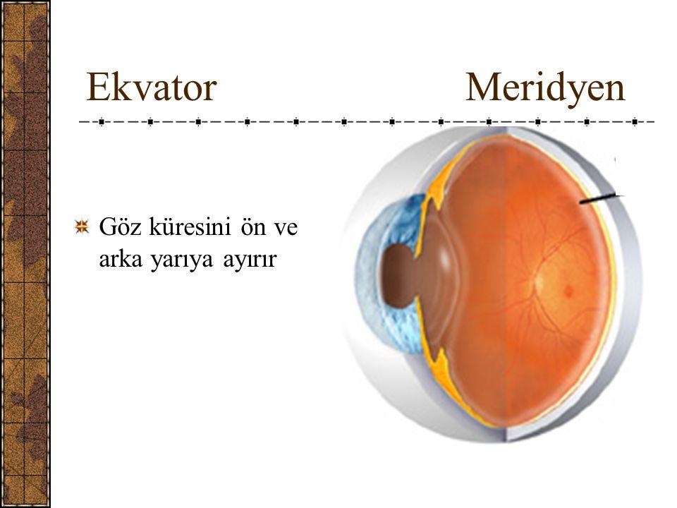 Ekvator Meridyen Göz küresini ön ve arka yarıya ayırır