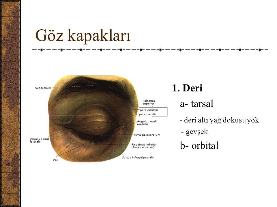 Göz kapakları 1. Deri a- tarsal - deri altı yağ dokusu yok b- orbital