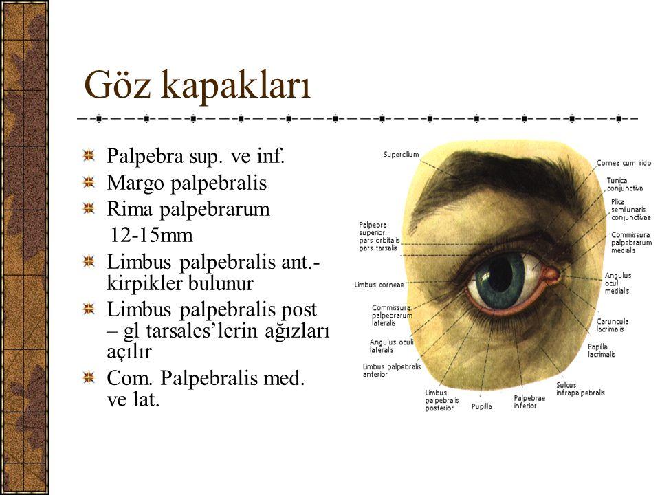 Göz kapakları Palpebra sup. ve inf. Margo palpebralis Rima palpebrarum