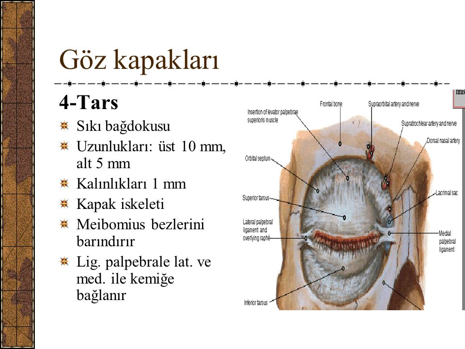 Göz kapakları 4-Tars Sıkı bağdokusu Uzunlukları: üst 10 mm, alt 5 mm