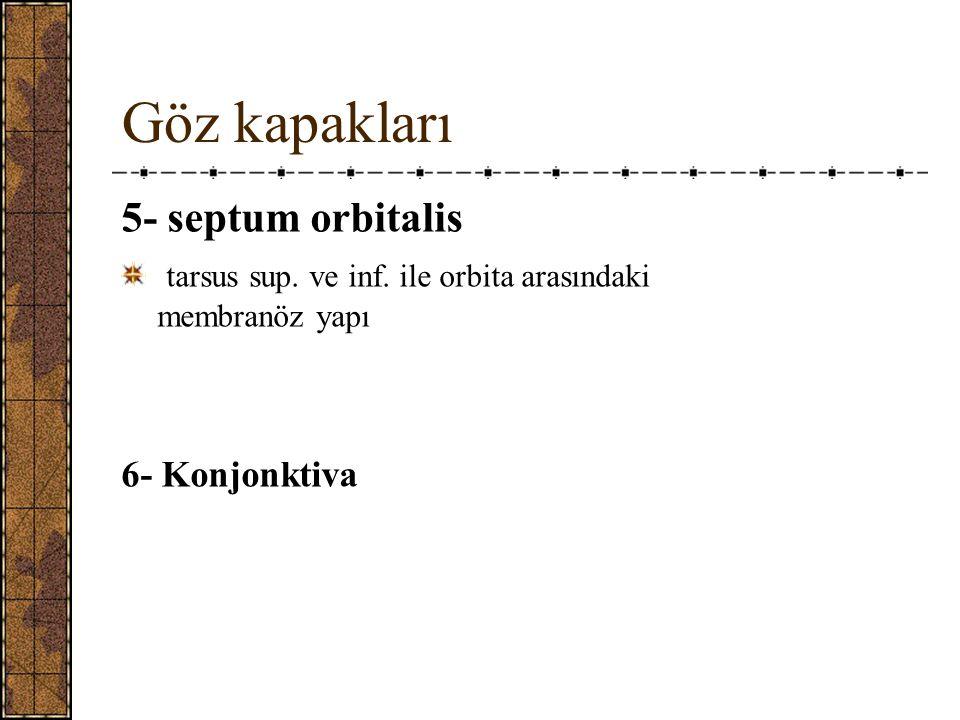 Göz kapakları 5- septum orbitalis
