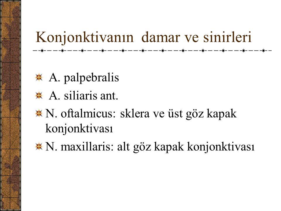 Konjonktivanın damar ve sinirleri