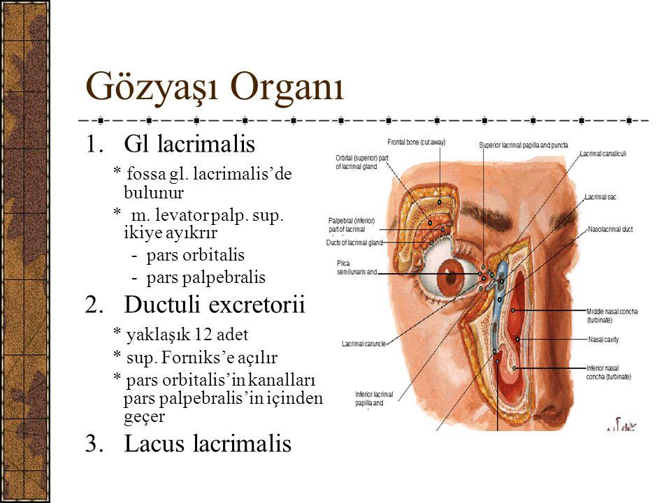 Gözyaşı Organı Gl lacrimalis Ductuli excretorii 3. Lacus lacrimalis