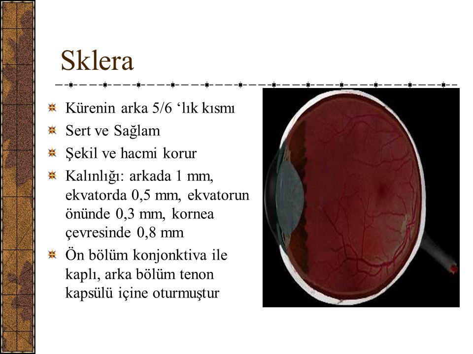 Sklera Kürenin arka 5/6 'lık kısmı Sert ve Sağlam Şekil ve hacmi korur