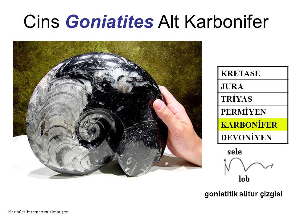 Cins Goniatites Alt Karbonifer