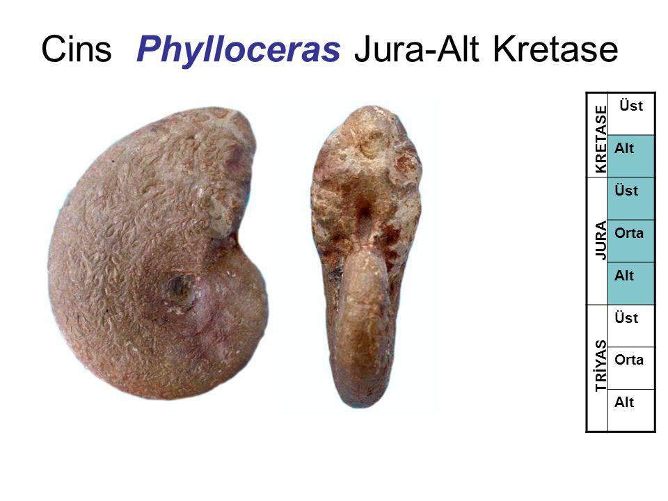 Cins Phylloceras Jura-Alt Kretase