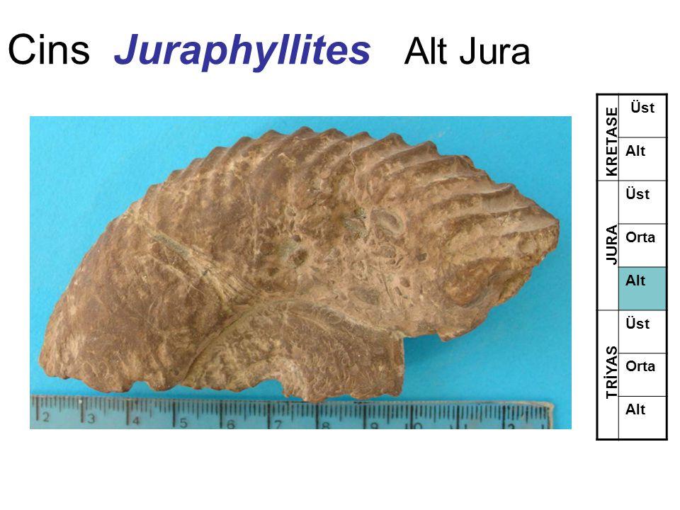Cins Juraphyllites Alt Jura