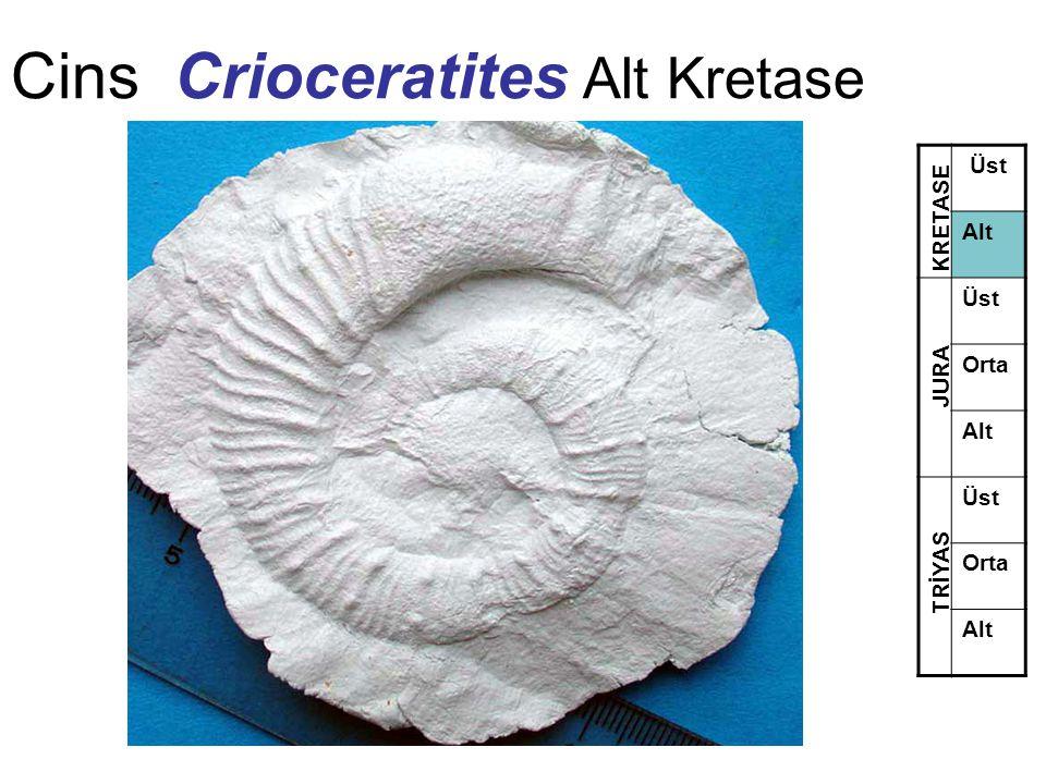 Cins Crioceratites Alt Kretase
