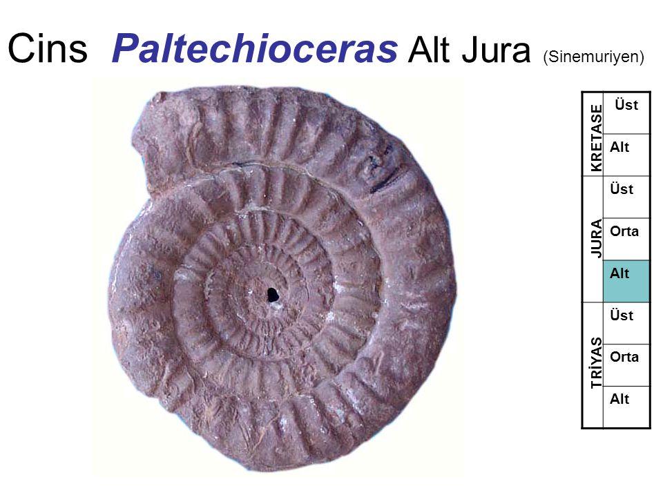 Cins Paltechioceras Alt Jura (Sinemuriyen)