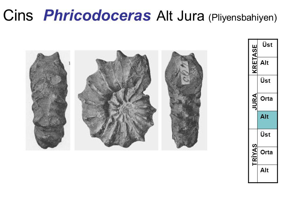 Cins Phricodoceras Alt Jura (Pliyensbahiyen)