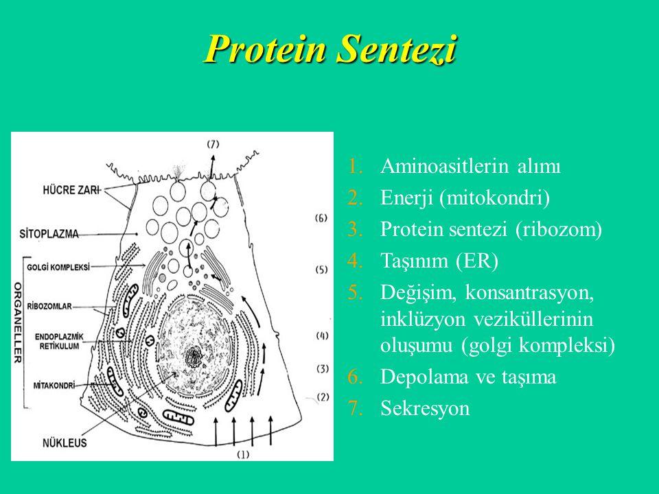 Protein Sentezi Aminoasitlerin alımı Enerji (mitokondri)