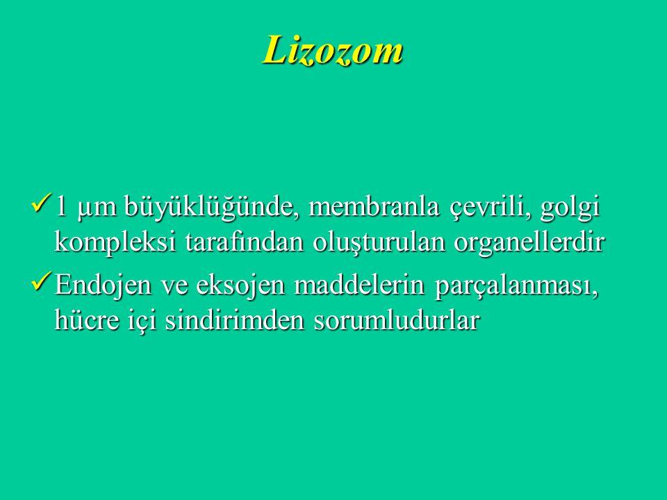 Lizozom 1 µm büyüklüğünde, membranla çevrili, golgi kompleksi tarafından oluşturulan organellerdir.