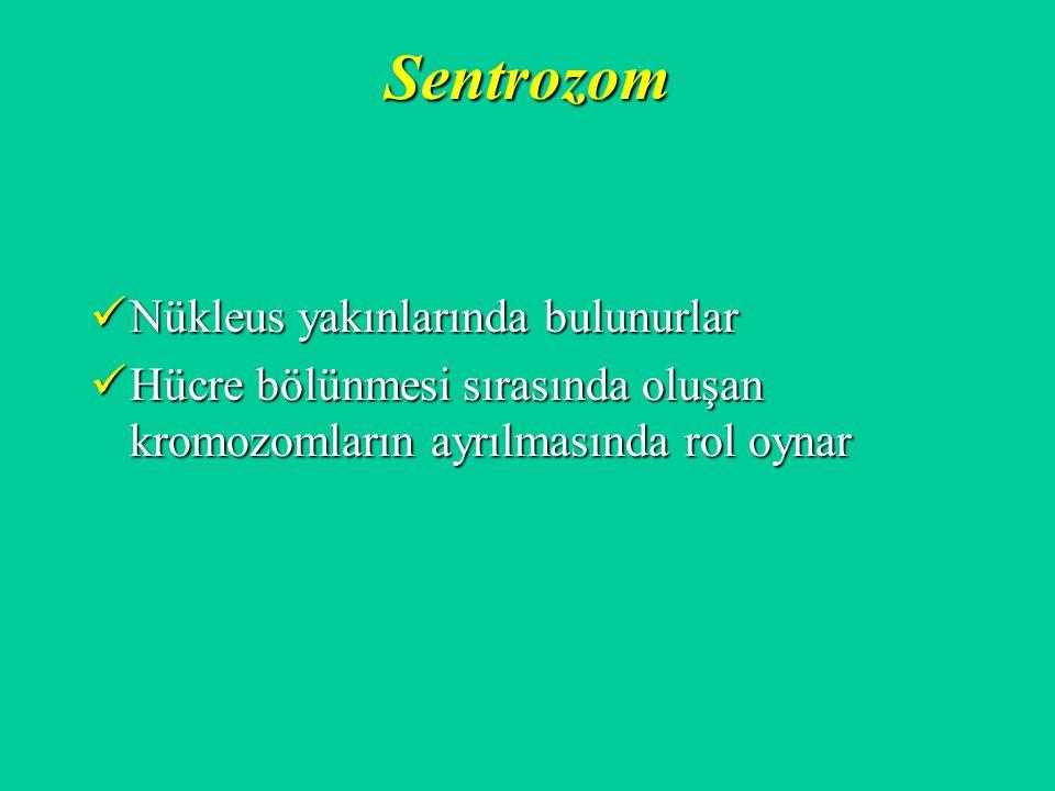 Sentrozom Nükleus yakınlarında bulunurlar