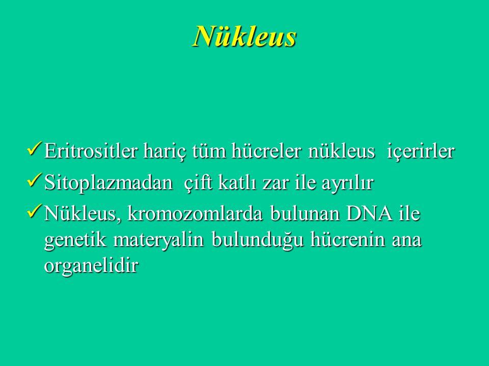Nükleus Eritrositler hariç tüm hücreler nükleus içerirler