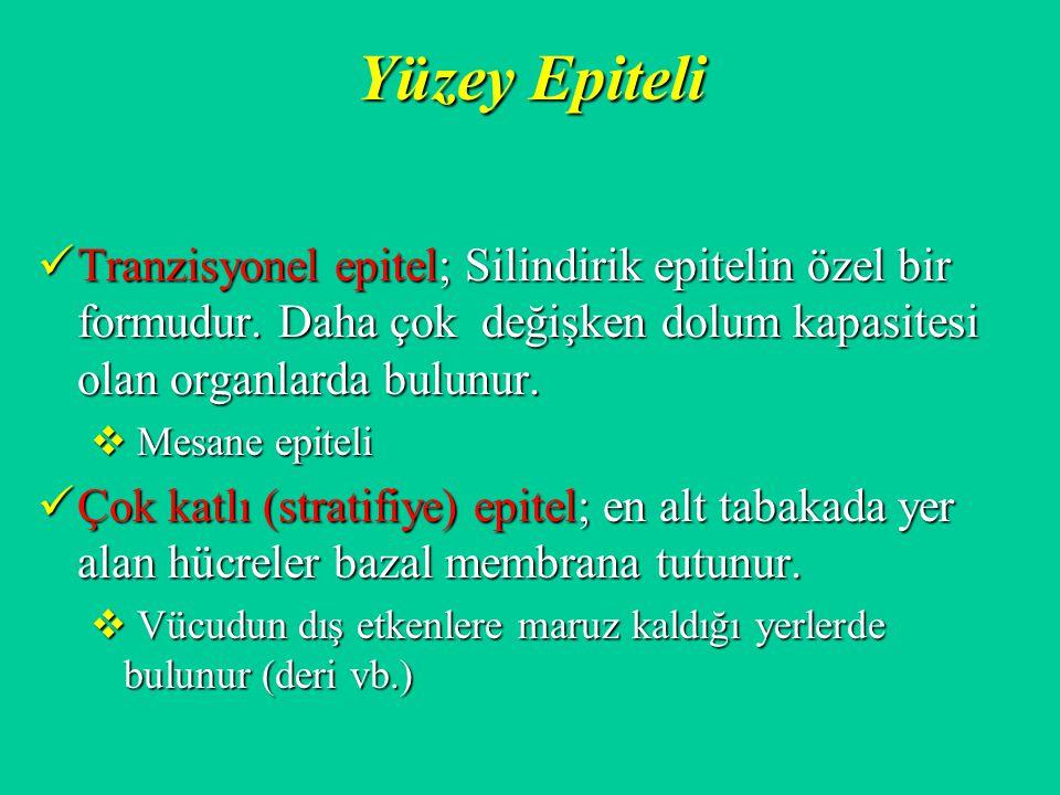 Yüzey Epiteli Tranzisyonel epitel; Silindirik epitelin özel bir formudur. Daha çok değişken dolum kapasitesi olan organlarda bulunur.