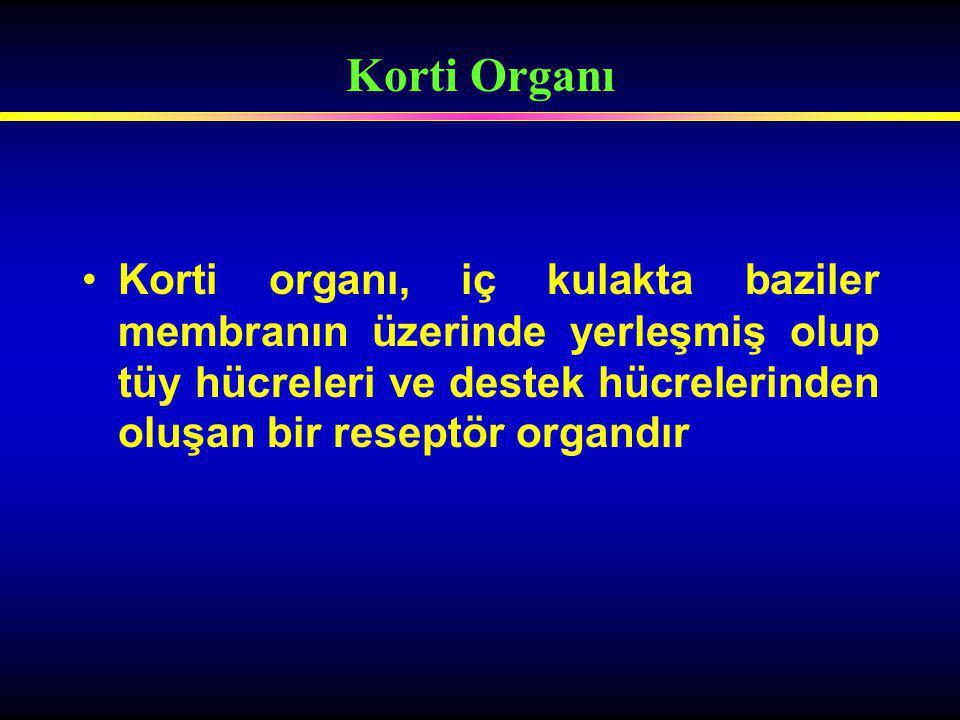 Korti Organı Korti organı, iç kulakta baziler membranın üzerinde yerleşmiş olup tüy hücreleri ve destek hücrelerinden oluşan bir reseptör organdır.
